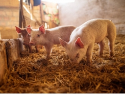 Yeast supplement may support gut health for disease-challenged piglets
