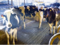 Study reviews vitamin A influence on fresh cow disease