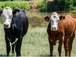 Ensure fall-calving replacement heifers ready for breeding season