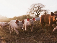 Zinc, not arginine may boost piglet growth, oxidative status