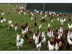 Old bird diseases occur more among free-range hens
