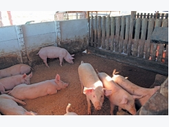 Basic infrastructure for small-scale pig farming