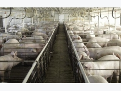 Influenza A Virus in Swine: What You Need to Know