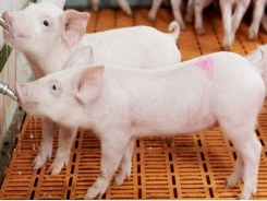 TGE-resistant pigs developed through gene editing