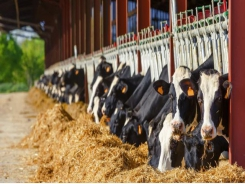 Clay supplements improve dairy cows' immune response to aflatoxins