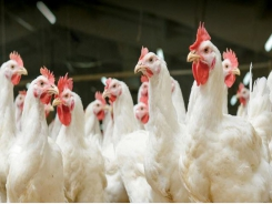 Understanding threats to poultry performance