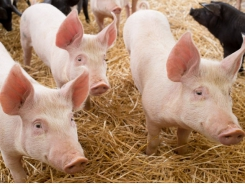 Study: Fasting on the day of weaning improves piglet performance in subsequent weeks