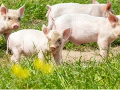 Grease, copper additives may boost heat-stressed pigs' performance