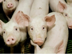 Field cress tested as new protein source for pigs