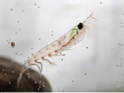 Krill meal ranked top in study assessing growth enhancers in shrimp