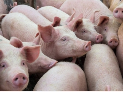 Glutamic acid shown to improve the feed efficiency of weaned piglets