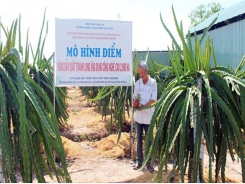 Hi-tech dragon fruits planting brings efficiency