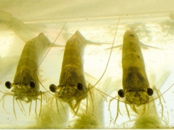 Biofloc systems, tilapia byproduct may support cheaper shrimp production