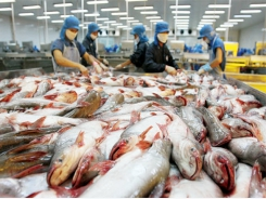 Pangasius exports to China saw a slumps