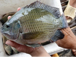 More opportunities for exporting tilapia