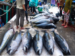 Tuna exports to EU skyrockets