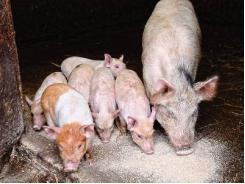 8 questions to ask when purchasing piglet feeds
