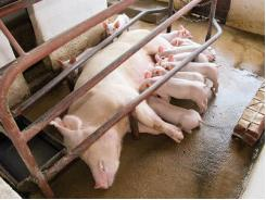 3 strategies for successful piglet creep feeding