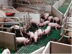 Reducing the number of nurse sows on the farm - TIPS FOR PIGS