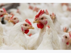 New molecule unveiled to improve poultry gut health