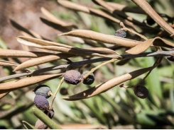 How to save olives from destructive diseases