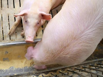 Pig feed middlemen dislike Smithfields farm-direct buys