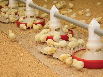 7 questions to ask when purchasing broiler feeds
