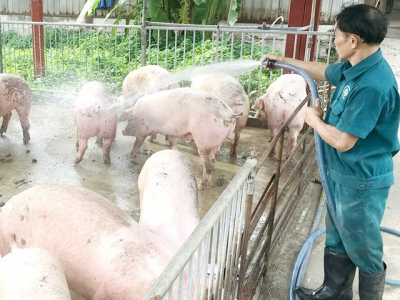 Pig-breeding households unable to rebuild pig herd without biosecurity