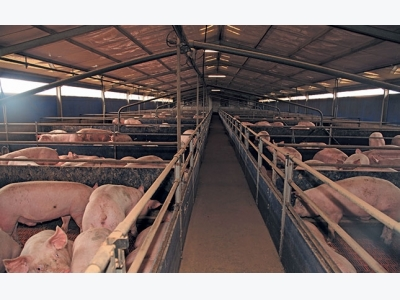 How whey can cut the cost of pig feed