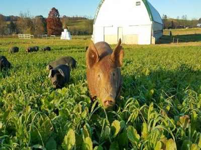 Project to investigate parasite control in organic pork