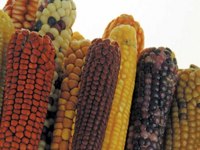 The basics of maize production