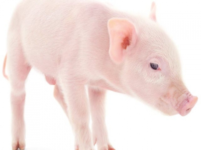 Denmark to explore local anesthesia use in piglet castration