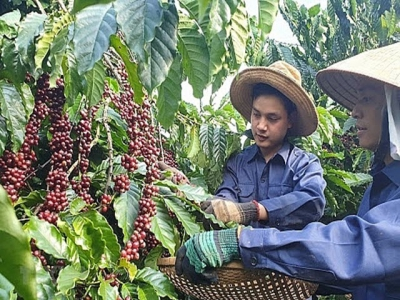 Increase value of Vietnamese coffee beans through increased production