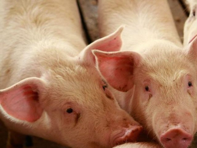 Fiber in rice co-products characterized for swine diets
