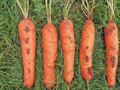 Learn how to grow carrots