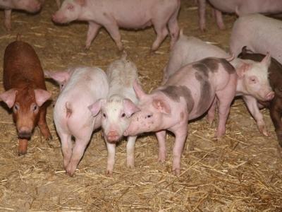 Denmark sees progress in R&D on zinc alternatives in pig feed