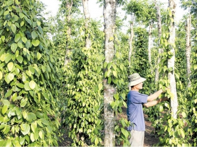 Vietnam's pepper industry bears 'price shock'