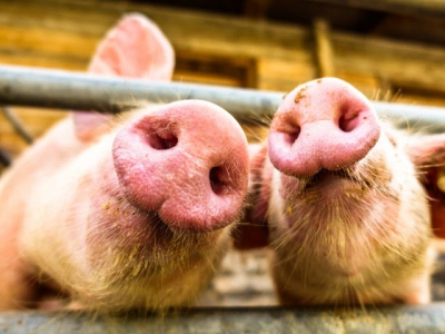 Calculating swine diets using digestibility ratios may support growth, feed intake
