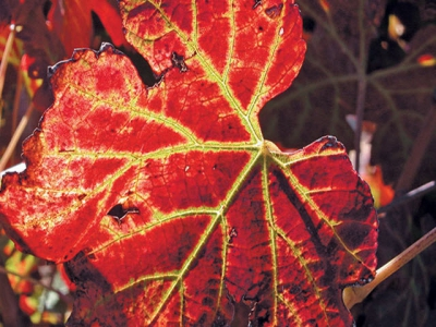 Leafroll virus in vines can be beaten – heres how