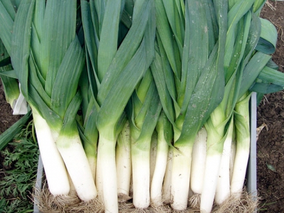 Expert Tips for Growing Leeks and Exhibition Leeks