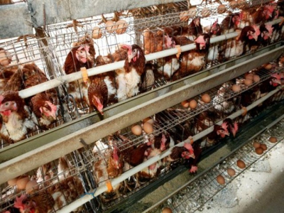 Reasons for buying animal welfare friendly eggs researched
