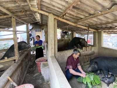 Muong Pa indigenous pig breeding cooperative ensures food safety