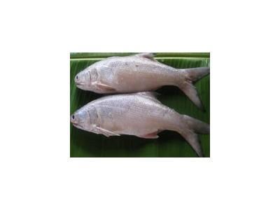 Cá nhụ đối tượng nuôi triển vọng cho vùng xâm nhập mặn do biến đổi khí hậu