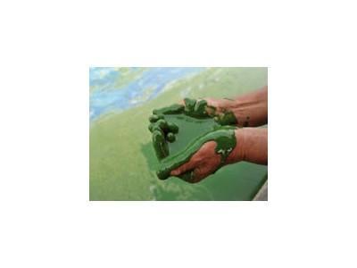 Cách diệt tảo đỏ tảo giáp trong ao nuôi