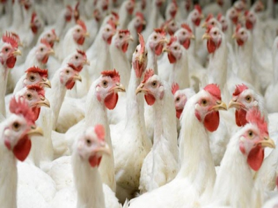 Stress may affect gender ratio of poultry offspring