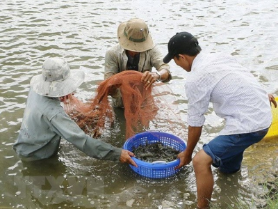 Ben Tre: Shrimp to become spearhead of production industry