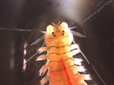 Polychaete worms reduce waste, provide food in aquaculture