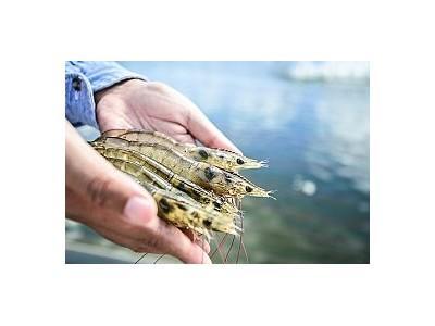 Nuôi tôm tăng trưởng nhanh và lớn hơn nhờ ăn chất thải từ nhím biển