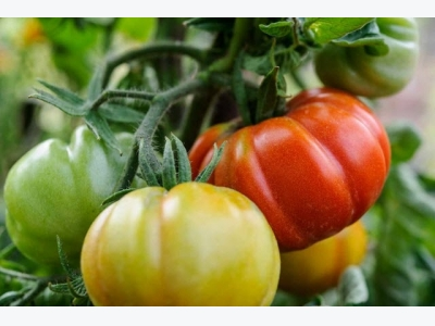 How to grow tomatoes in a growing bag