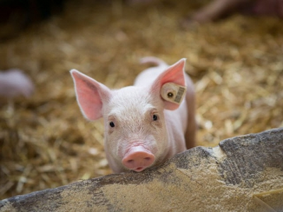 Provimi creates age-based swine feeding system
